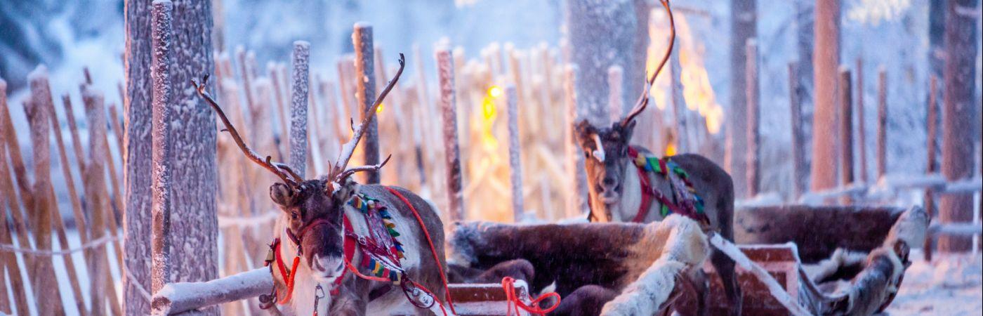 Traîneaux à renne en Laponie
